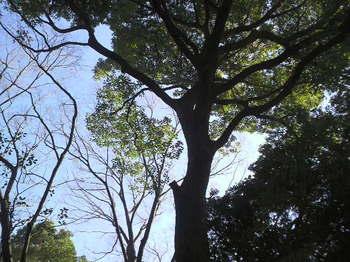 明治神宮第一鳥居すぐ右手の木